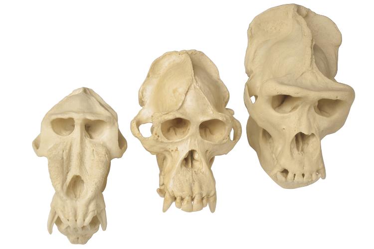 Des crânes anciens remettent en cause l'évolution de la race humaine - 1