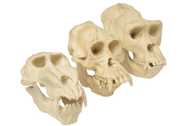 Des crânes anciens remettent en cause l'évolution de la race humaine - 2